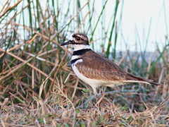 Killdeer 20161129 (Kenneth Cole Schneider) Tags: florida miramar westbrowardwca