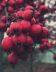 ... Winter Berries ... Fruit Red Close-up Nature Tree Food Cold Temperature Hawthorn Berry Scarlet Nature Wales   (Almena14) Tags: winter berries fruit red closeup nature tree food coldtemperature hawthorn berry scarlet wales