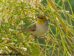 Verdin (orencobirder) Tags: smallbirds flickrexport titmice birds