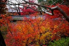 Autumn Corridor (tez-guitar) Tags: temple autumn autum audio leaves architect bridge corridor kyoto pentax pentaxart maple wood trees forest garden