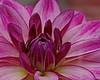 A purple dahlia (Roland B43) Tags: flower dahlia purple macro petals vivitar90mm28
