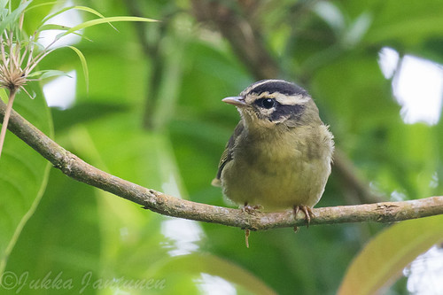 Three-striped Warbler (Basileuterus tristriatus), Nov 1 2016, Parque Chicaque, Soacha, Colombia