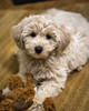 Welcome Home Tucker (Graydon Armstrong) Tags: dog puppy dogs puppies inside apartment carpet toy moose yorkie poodle yorkiepoo nose cute adorable fur fluffy