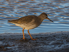 Redshank (Paul West ( pwest.me )) Tags: redshank bird nature coastal donnanook