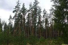 Вокруг нас раскинулись десятки километров сосновых боров. Я сразу вспомнил своего друга Максима Компанийца. Вот бы затащить его сюда! Любит он такую природу.