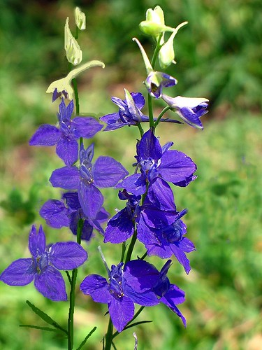flowers flower garden purple larkspur consolida