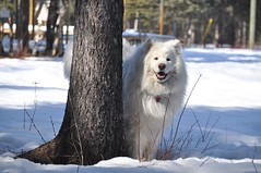 Quinn (nwtarcticrose) Tags: winter white snow samoyed nwt northwestterritories whitedogs snowdogs samoyeds nikond90 kodyquinn