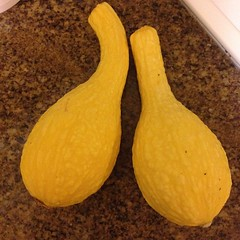 First squash picked from the garden this year. I cannot wait to eat these! #gardening #homegrown #yum (Stephen O) Tags: from garden this yum gardening year first eat picked squash cannot wait these homegrown i