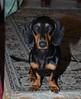 _140721_2765 (verbeek_dennis) Tags: dachshund tax kaapo dashond mäyräkoira такса gravhund jazvečík táksa