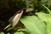 Papilio memnon 2 (Snoek2009) Tags: butterfly zoo emmen noorderdierenpark papiliomemnon butterflygarden vlindertuin citrit