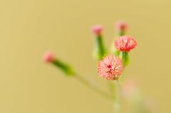 Small flower f/2.8 (mcvmjr1971) Tags: flower macro ex lens nikon flor sigma f28 150mm d7000