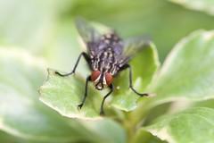 House Fly (Polietes lardarius) (piazzi1969) Tags: macro canon germany munich bavaria eos wildlife insects flies 5d housefly markiii polieteslardarius