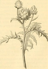 Anglų lietuvių žodynas. Žodis alliaceous plant reiškia svogūninės augalų lietuviškai.