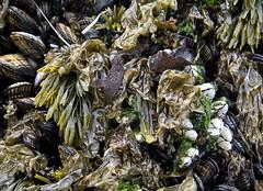Sea Salad, Northern California (shultstom) Tags: california seaweed tom coast lowtide northern shults
