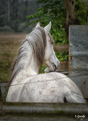 Cavalo Tordilho (White Horse) (I.Guidi) Tags: horse white branco nikon cavalo tordilho d7000