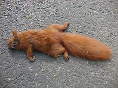 (flarmorel) Tags: eichhörnchen tier überfahren überfahrenestier überfahreneseichhörnchen tierleiche totestier toteseichhörnchen sciurus