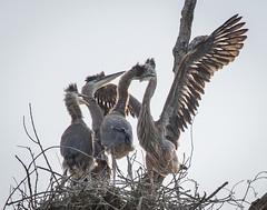 In Your Face (gseloff) Tags: birds texas nest pasadena greatblueheron fledgling armandbayou kayakphotography gseloff
