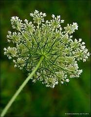 LACE ON GREEN, II (susies.genii) Tags: flower macro queenanneslace bokehbackground viewedfromback july192014