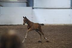 DSC_0619 (PaulBenthamEsq) Tags: horses mike sport lg becky lower grading colt foal futurity battersby gadhole