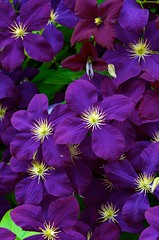 Purple Passion (imageClear) Tags: flower macro floral beauty wisconsin nikon flickr purple flor clematis vine climber lovely photostream perennial 105mm d7000 imageclear