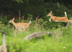 hightailing it (hennessy.barb) Tags: jump escape run deer fawn whitetail