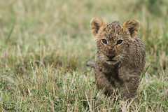 Young lion ( Mathieu Pierre photography) Tags: county cats baby game beach fashion animals rock cat canon is big melting kenya african lion young large reserve safari pot national mara 7d f28 maasai flin 70200mm the narok