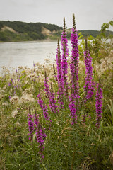 Purple loosestrife on the Missouri (Sam Stukel) Tags: southdakota wetland missouririver invasivespecies purpleloosestrife