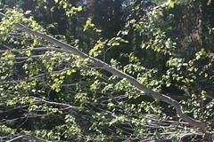 Acer glabrum (brian dean bollman) Tags: acer aceraceae siskiyoucounty mountainmaple russianwilderness klamathmountains rockymountainmaple douglasmaple acerglabrum salmonmountains
