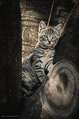 (Katarina Drezga) Tags: cats cute animals cat kitten kittens domesticcat outdoorphotography nikond3100 nikkor55300mm4556gvr
