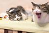 DSC07005.jpg (uedanagano) Tags: cats pets animal zeiss sony alpha 135mm a99 sal135f18za