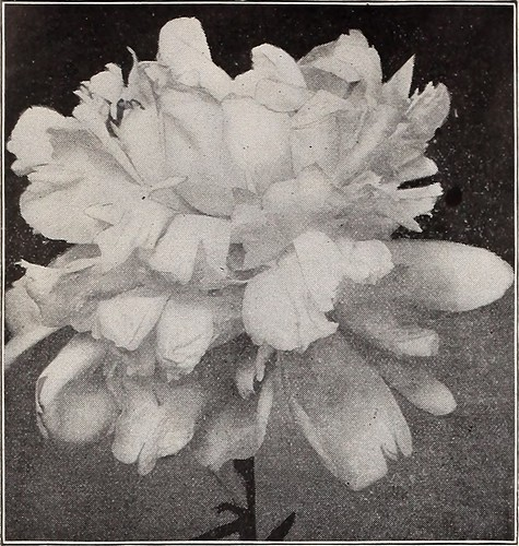 "Image from page 33 of ""Dreer's wholesale price list : bulbs for florists flower seeds for florists plants for florists vegetable seeds, fungicides, fertilizers, insecticides, implements, sundries, etc"" (1909)"