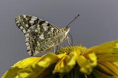 Painted Lady #6 (stkorhon) Tags: vanessa macro closeup lady butterfly cosmopolitan nikon painted dx cardui d3200 ohdakeperhonen