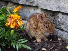 Fierce Bunny sticks out his tongue (LexnGer) Tags: bunny tongue kit stickingouthistongue farmfarm fiercebunny rabbitkit farmsquared