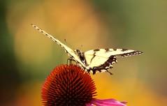 Yellow Swallowtail (Memotions) Tags: flowers summer urban ontario canada butterfly garden insect purple guelph coneflower patty habitat yellowtail 2014 pollinator echinaecia ohearn kickham