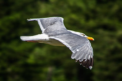 """seagull flying over the forest • <a style=""""font-size:0.8em;"""" href=""""http://www.flickr.com/photos/125767964@N08/14866059185/"""" target=""""_blank"""">View on Flickr</a>"""