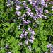 baptisia purple smoke, myyard, jdy146 XX20140526154016.jpg