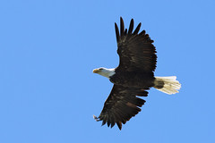 Oh Look! An Eagle! (Bereno DMD) Tags: wild white black bird nature animal washington bigbird big wings eagle flight feathers pacificnorthwest powerful pnw wingspan