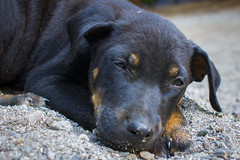 Jungle Trek, Peru (photosbymcm) Tags: travel dog cute peru southamerica animal inca america puppy photography sleep south may culture inka adventure napping peruvian 2014 quecha photosbymcm matthewmcandrew
