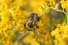 Small Bumble Bee Feasting On Goldenrod 003 (Chrisser) Tags: ontario canada nature insect bees insects bee bumblebee bumblebees stinging apidae canonefs1855mmf3556islens canoneosrebelt1i