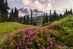 Mount Rainier above Pink Heather (Don Geyer) Tags: morning wild summer usa mountain mountains nature ecology landscape outside outdoors volcano landscapes us washington flora scenery soft unitedstates natural outdoor scenic meadow meadows peak glacier foliage mountrainier mountrainiernationalpark glaciers wa backcountry environment mornings summertime wilderness peaks habitat volcanic diffused scenics summers ecosystem volcanos cascaderange environments wilds habitats summertimes ecosystems naturalenvironment uncultivated naturalenvironments mountrainierabovepinkheatheronmazamaridge