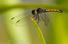 Seaside Dragonlet (sjsimmons68) Tags: animals seasidedragonlet erythrodiplaxberenice merrittislandnationalwildliferefuge insectsandspiders brevardco dragonflyanddamselfly fllocations