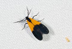 Black-and-Yellow Lichen Moth (scott_clark) Tags: night forest bug insect moth westvirginia lycomorphapholus blackandyellowlichenmoth watogastatepark