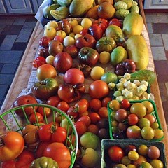 "Oh, how I do love gardening season. It is amazing how much delicious produce a garden can provide for our family table. We're enjoying a bounty of heirloom tomatoes and cucumbers right now.  What are you harvesting from your garden?  #heirloom #garden #to • <a style=""font-size:0.8em;"" href=""http://www.flickr.com/photos/54958436@N05/15089300556/"" target=""_blank"">View on Flickr</a>"