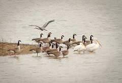 Pelicans, Geese & a Heron .... Oh My!! (Rick Smotherman) Tags: winter lake pelicans heron water birds canon geese pond december missouri birdsinflight blueheron westalton canon300mmf4l canon7d
