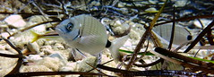Bream, Xwejni Bay, Gozo (yayapapaya77) Tags: plants fish underwater pflanzen diving malta fisch bream mediterraneansea gozo tauchen unterwasser mittelmeer brasse xwejnibay canonpowershotg15