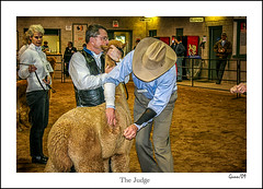 The Judge (Gunnshots) Tags: animals alpacas people competition judge arena show agriculture fleece wool