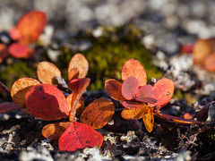 Feuilles automnales ... (sosivov) Tags: macro leaves autumn red orange stone
