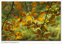 Autumn Leaves (Paul Simpson Photography) Tags: autumn seasonalphotography sonya77 sonyphotography tree leafes leaf imageof imagesof photoof plant plantlife plants naturalworld nature naturephotography paulsimpsonphotography autumnscolours fall fallcolors branch england golden gold autumnal automne