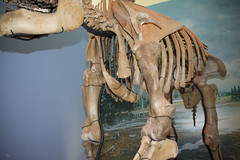 cervical vertebra, Sterenebrae, fwd ribs, scapula, humerus, ribcage_7258 (Alice & Seig) Tags: fossils ithaca mammals mammalsmammalia newyork njny62016 proboscidea unitedstates flickr