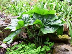 Podophyllum pleianthum (dracophylla) Tags: royaltasmanianbotanicalgardens dysoma berberidaceae podophyllumpleianthum